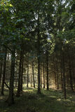 Sunlight in the woods of Boeslunde Stock Image