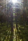Sunlight in the woods of the Setesdal Stock Image
