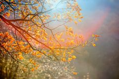 Sunlight yellow autumn tree in a park Royalty Free Stock Photography