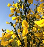 Sunlight on yellow hedgerow sweet scented flowers royalty free stock photos