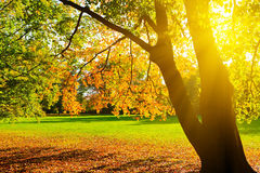 Sunlighted autumn tree in a park Stock Images