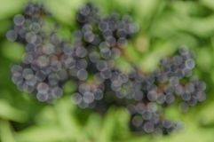 Sunlighted  black berry defocus background Stock Photography