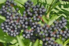 Sunlighted  black berry defocus background. In green Stock Photo