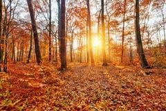Sunlighted-Herbstwald Stockbilder