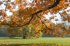 Sunlighted orange autumn tree in a park Royalty Free Stock Photo