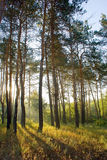 Sunlighted woods in the morning Stock Image