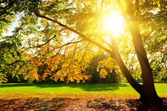 Sunlighted yellow autumn tree. In a park Royalty Free Stock Photography
