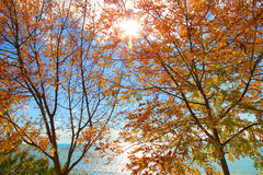 Sunlighted yellow autumn tree Royalty Free Stock Photo