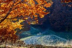 Sunlighted yellow golden autumn tree in forest. Beautiful sun ra Stock Photo