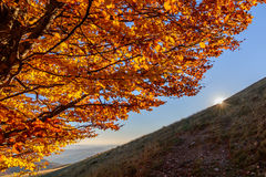 Sunlighted yellow golden autumn tree in mountain forest. Sun app Stock Photo
