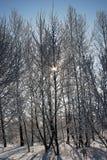 Sunlights del invierno que fluyen a través de árboles nevados imagenes de archivo