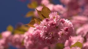 Sunlights touches sakura branchlet in morning sunrise. Blurred Japan cherry tree and blue sky on the background. stock video footage