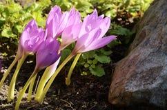Sunlit безвременник в flowerbed Стоковая Фотография