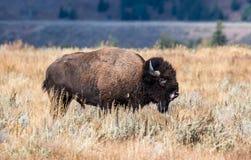 Sunlit бизон стоя в Sagebrush Стоковые Изображения