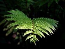 Sunlit ветвь папоротника Стоковое Фото