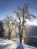Sunlit деревья вербы в снеге около пруда Стоковые Фотографии RF