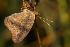 Sunlit деревянная бабочка satyr Стоковые Изображения RF
