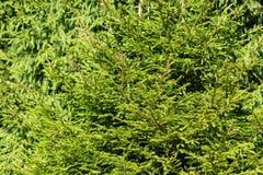 Sunlit елевые деревья в лете естественная текстура стоковая фотография