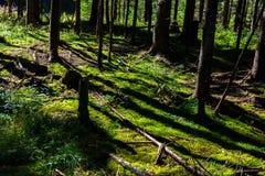Sunlit лес смолотый с мхом Стоковая Фотография RF