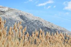 Sunlit золотые тростники стоковые фотографии rf
