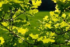 Sunlit листья дуба перед лугом Стоковое Изображение