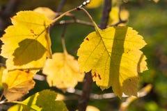 Sunlit красивые высекаенные желтые листья осени Стоковое Изображение