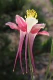 Sunlit красный цветок Columbine Стоковые Фото
