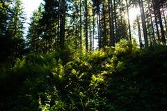 Sunlit папоротник в лесе Стоковые Изображения