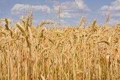 Sunlit поле зрелой пшеницы против голубого неба с облаками Стоковое Изображение RF