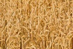 Sunlit поле зрелой пшеницы Справочная информация Стоковое фото RF