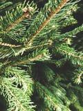 Sunlit сосна в лесе Стоковое Изображение RF