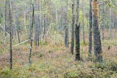 Sunlit сосновый лес в болоте Стоковые Изображения