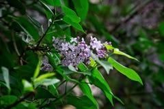 Sunlit цветки сирени среди зеленых листьев Природа и свой шарм стоковое фото
