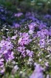 Sunlit цветя луг с миллионом крошечными летами voilet цветет предпосылка Стоковое Изображение