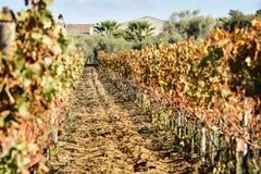 покрашенный sunlit виноградник Стоковая Фотография