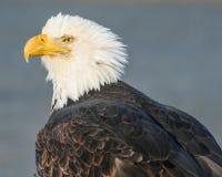 Sunlit Alaskan Eagle. A bald eagle enjoys the sunshine on the beach in Homer, Alaska Royalty Free Stock Images