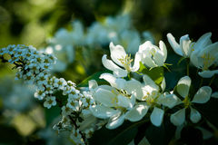 Sunlit apple and bird cherry blossoms among the tree foliage Stock Images