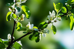 Sunlit apple branch in bloom Royalty Free Stock Image