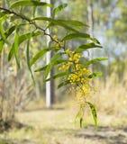 Sunlit Australian Zig-zag Wattle Flower Acacia macradenia Stock Images