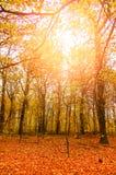 Sunlit autumn forrest Stock Image