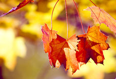Sunlit autumn leafs stock photo