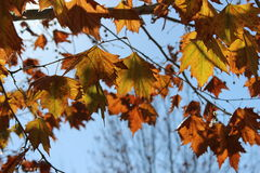 Sunlit Autumn Leaves Royalty Free Stock Photography