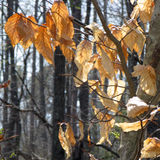 Sunlit Autumn Leaves. Crisp dried sunlit Autumn leaves await the beginning of Spring. The small green shoot ( bottom right ) indicates that Spring has finally Stock Image