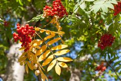 Sunlit autumn yellow leaves and red berries of rowan. Sunlit autumn yellow leaves and red ripe berries of rowan Stock Image