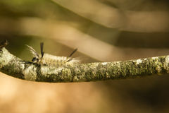 Sunlit Banded Tussock Moth Caterpillar on Lichen Branch. Sideview of a hairy, fuzzy, sunlit white caterpillar with black tufts at front and back, sunlit Royalty Free Stock Images