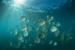Sunlit batfish Royalty Free Stock Photos