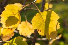 Sunlit beautiful carved yellow autumn leaves. Close-up sunlit beautiful carved yellow autumn leaves Stock Image