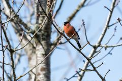 Male Bullfinch feeding in a tree Royalty Free Stock Image