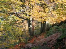 Sunlit beech forest with two ancient trees in autumn woodland Royalty Free Stock Photos