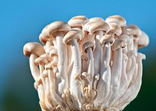 Sunlit Beech Mushrooms Royalty Free Stock Images